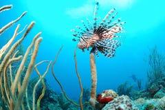 Lionfisk och korallrev royaltyfri bild