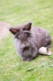 Lionhead兔子 库存照片