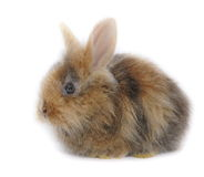 Lionhead bunny baby. Sweet easter lionhead bunny isolated on white background stock photo