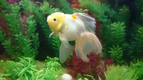Lionhead Gold fish in aquarium. Bright orange gold fish with long vale fins Royalty Free Stock Images