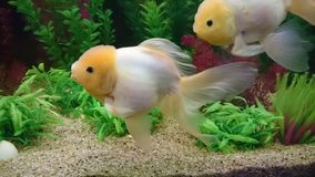 Lionhead Gold fish in aquarium Stock Images