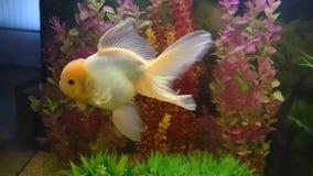 Lionhead Gold fish aquarium Stock Image