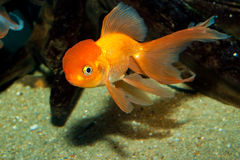 Lionhead Goldfish Royalty Free Stock Photo