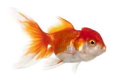 Lionhead goldfish, Carassius auratus Stock Photos