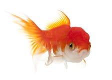Lionhead goldfish, Carassius auratus Stock Photo