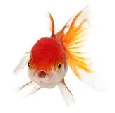 Lionhead goldfish, Carassius auratus Stock Images