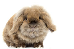 Lionhead lop rabbit. Lionlop Rabbit, in a brown collor, lopear with fluffy coat. white background made in studio stock images