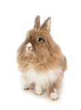 Lionhead rabbit. In the Oriental calendar 2011 - the year of rabbit stock photo