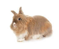 Lionhead rabbit. In the Oriental calendar 2011 - the year of rabbit stock photos