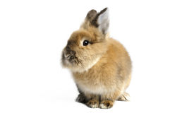 Lionhead Rabbit. On white background stock photography