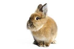 Lionhead Rabbit Stock Photography