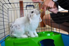 Lionhead rabbit eating in cage. Rabbit eating a banana in his cage stock photos