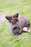 Lionhead rabbit. Image of a grey and brown fluffy lionhead rabbit stock photo