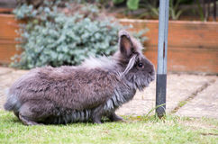 Lionhead rabbit. Image of a grey and brown fluffy lionhead rabbit stock images