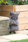 Lionhead rabbit. Image of a grey and brown fluffy lionhead rabbit royalty free stock images