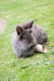 Lionhead rabbit. Image of a grey and brown fluffy lionhead rabbit stock photography
