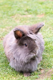 Lionhead rabbit. Image of a grey and brown fluffy lionhead rabbit stock photos