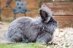 Lionhead rabbit. Image of a grey and brown fluffy lionhead rabbit royalty free stock image
