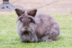 Lionhead rabbit. Image of a grey and brown fluffy lionhead rabbit royalty free stock photos