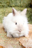 Lionhead rabbit. Sitting on a log against hay background stock image