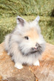 Lionhead rabbit. Sitting on a log against hay background stock images