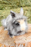 Lionhead rabbit. Sitting on a log against hay background royalty free stock photography