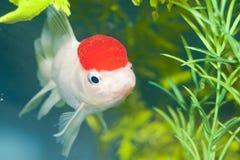 Lionhead White Goldfish in Aquarium Stock Photography