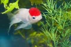 Lionhead White Goldfish in Aquarium Stock Image