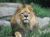 Lionking fotografia stock libera da diritti