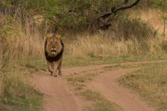 Lionking na drodze w Afryka Zdjęcia Stock