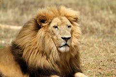 lionmanlig Fotografering för Bildbyråer
