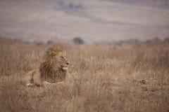 lionmanlig Arkivfoto