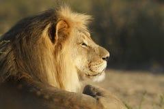 lionmanlig Royaltyfria Bilder