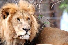 lionmanlig Arkivfoton