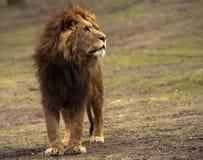 lionmanlig arkivbild
