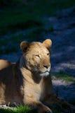 Lionne photos libres de droits