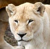 Lionne Photographie stock libre de droits