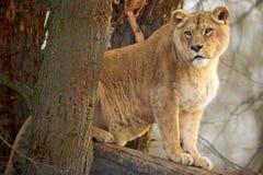 Lionne Imagem de Stock