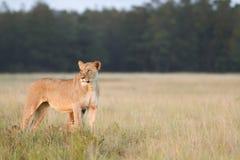 Lionne Photographie stock