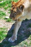 Lionne Images stock