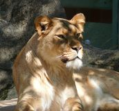 Lionne Photo libre de droits