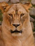 Lionne images libres de droits