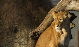 Lionne Photos stock