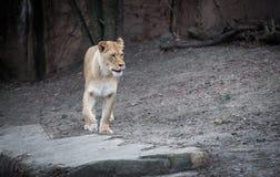 Lionne Image libre de droits