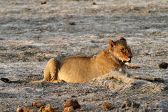 Lionne africaine Image libre de droits