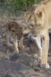 lionne africaine d'animal Photo libre de droits