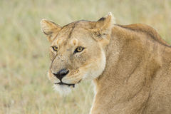 Lionne africaine (Panthera Lion) en Tanzanie Photo stock