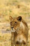 Lionne africaine une des grands cinq Photographie stock