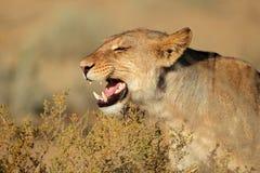 Lionne agressive Images stock