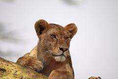 Lionne alerte Photos libres de droits